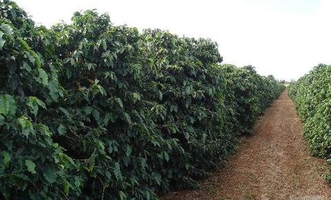 cafe robusta, variedades del cafe, especies de cafe, clases de cafe