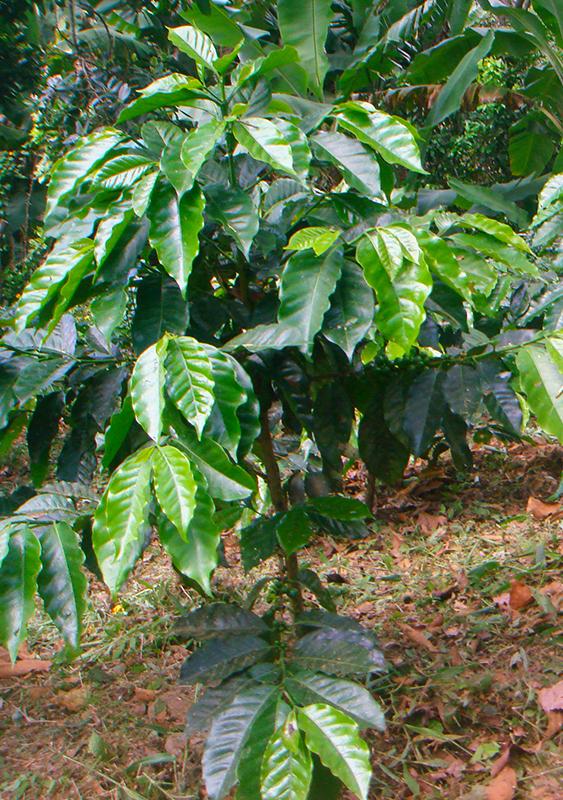 el mundo del café conoce el cultivo y la producción del café