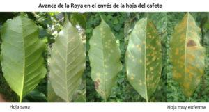 roya hemileia vastatrix cafe