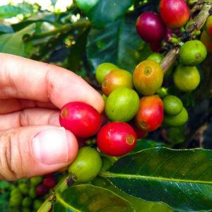 recolección café, recolectar café, café verde, café maduro