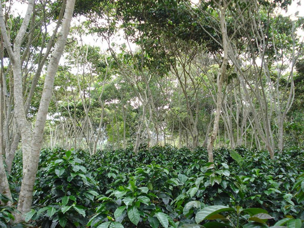 sombrío en cultivo de café