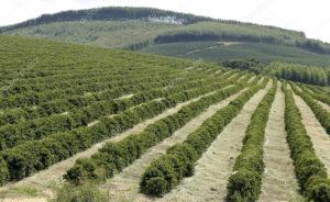 sistema de producción de café tecnificado